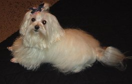 Photo of Maltese dog