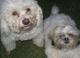 Photo of Bichon dog and Shih Tzu puppy