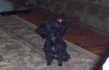 Photo of Poodle dog